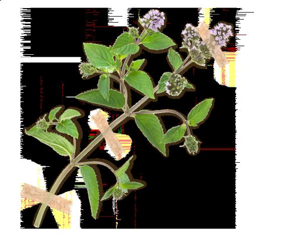 Medovka