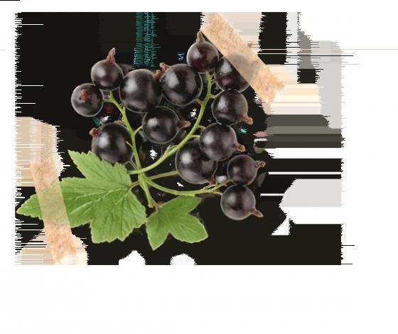 Čierna ríbezľa